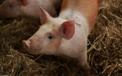 SwineTech raises $5m Series A1 to take sow midwifery into the digital age